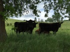 cattle-ranch
