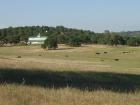 rhr-cattle